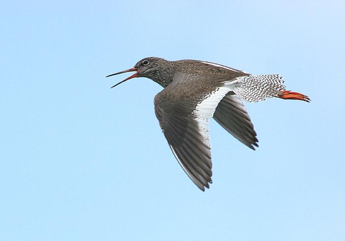 Totaal aantal foto's: 102 | Help: www.natuurfoto-zeevang.nl/vogelalbum/Weidevogels/slides/tureluur 1...