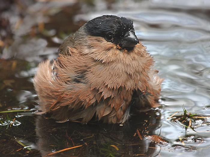 Vogels zang bosvogels goudvink wijfje neemt een bad - Foto in een bad ...
