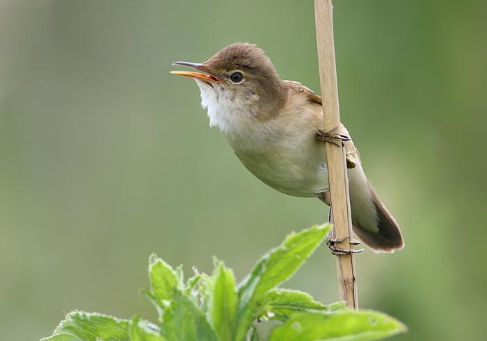 Vogels/Zang-Bosvogels/kleine karekiet: www.natuurfoto-zeevang.nl/vogelalbum/Zang-Bosvogels/slides/kleine...